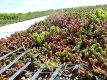 Sedum on the green roof
